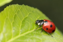 seven-spot ladybird on the leaf in nature