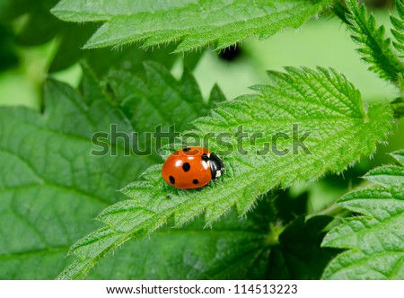 seven spotted ladybird portrait on stinging nettle