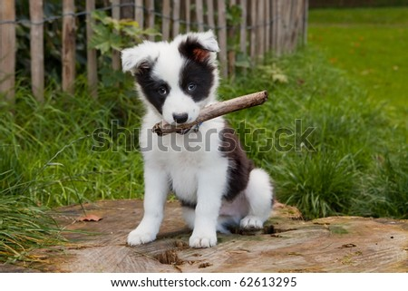 Seven weeks old border collie puppy dog in green meadow grass