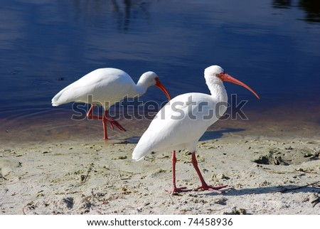 Several adult white ibis on the shore
