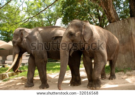 Several African elephants in zoo captivity