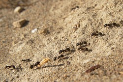 Several ants following an ant pathway, one of them carrying a piece of grass-ear