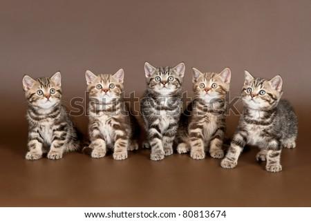 Several british kittens on brown background