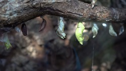 Several butterfly pupae on a branch in the terrarium behind glass. Walk in the zoo.