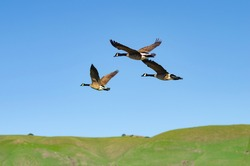 Several Canadian geese fly over Central Park in Fremont