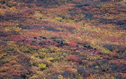Several caribou migrate along a trail through the brush as the tundra erupts in fall colors: golden willows, orange and red dwarf birch, and purplish hues of wild blueberry