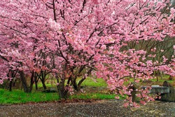 Several cherry blossom trees and petals scattered on the ground.