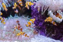 Several clownfish Amphiprion Ocellaris in marine aquarium. Tropical fish on a coral reef.