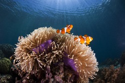 Several clownfish in their nest - a colorful anemony on a tropical coral reef
