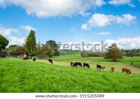 Several cows graze on the green meadow on a hill in a bright sunny day with blue sky. Natural Background. Foto d'archivio ©