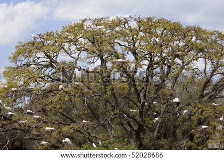 Several dozen Great Egrets sitting in nests in a live oak tree during nesting season in St. Augustine, Florida