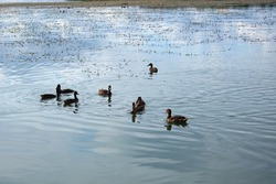 Several ducks swim in a pond with clear calm water, ducks and adult ducklings, duck flock, aquatic plants, natural habitat, summer day, sunny weather, water reflections, plumage, beak, swim together