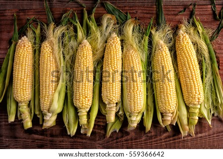 Several fresh picked and shucked corn on the cob ears on a rustic wood table. The sweet corn is shot from a high angle in horizontal format. #559366642