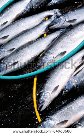 Several freshly caught coho salmon on a wooden dock amongst yellow and green hoses.
