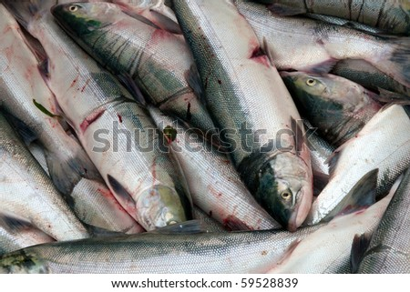 Several freshly caught sockeye salmon waiting to be sold