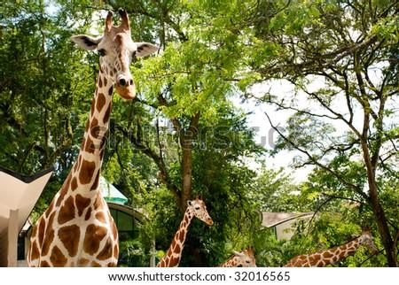 Several giraffes in zoo captivity