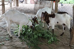 Several goats on a small farm in Asia, Nakhon Pathom Province, Thailand.