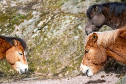 Several Gotland Horses in nature, an old Swedish pony breed almost wild horse, belong to the only semi-feral breed in Sweden.