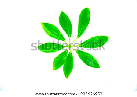 Several green leaves on a white background