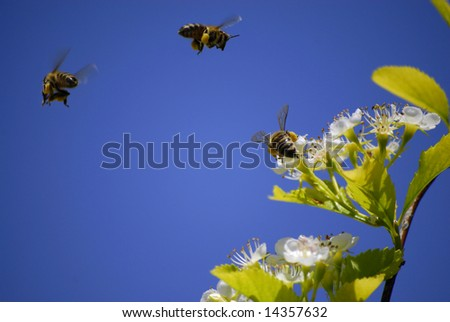 Several Honey Bees Flying Around Flowers
