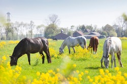 several horses grazing in green meadow with yellow rapeseed flowers and farm in the background in the netherlands