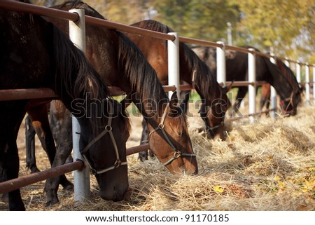 Several horses in the paddock and bent over eating dry grass