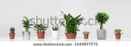 Several indoor plants, cacti in pots, standing in row on empty gray background Foto d'archivio ©