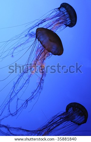 Several JellyFish or Sea Jellies, swimming in water