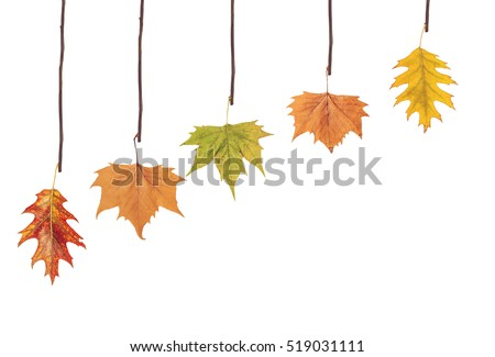 Several leaves hanging on tree branch #519031111