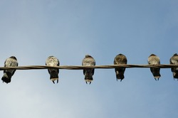 several pigeons sitting on the wires