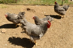 Several Plymouth Barred Rock Roosters have gathered around the pen for feeding in the yard.