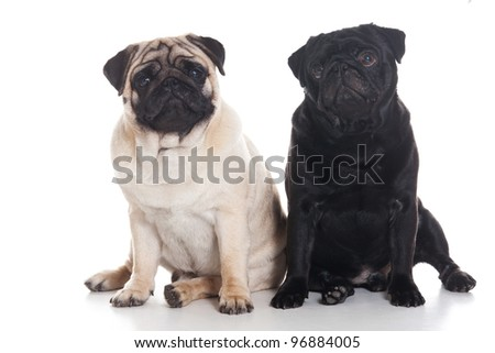 Several pug puppies on white background