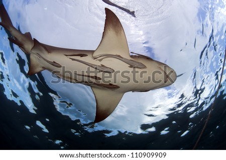 Several remora hitch a ride on a large lemon shark.