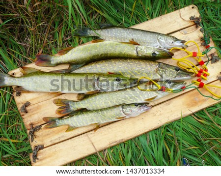 Several river pikes caught on spinning #1437013334