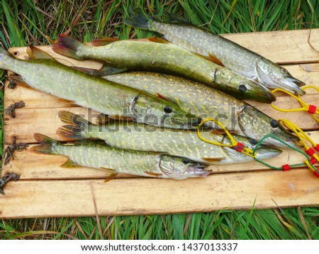 Several river pikes caught on spinning #1437013337