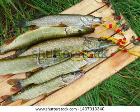Several river pikes caught on spinning #1437013340