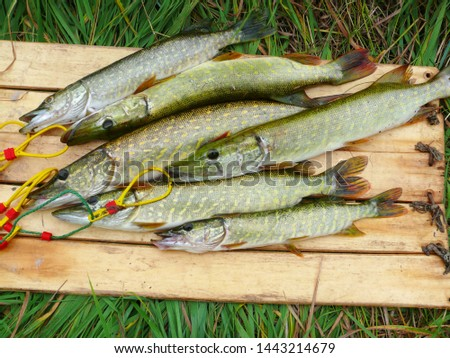 Several river pikes caught on spinning #1443214679