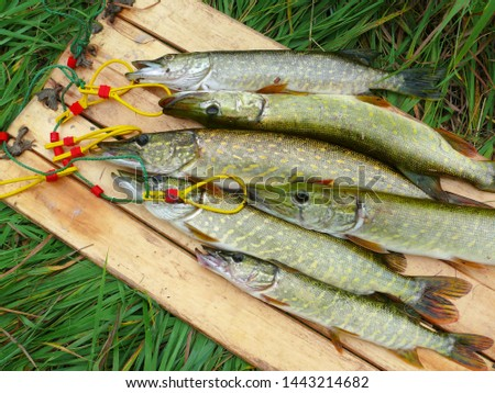 Several river pikes caught on spinning #1443214682