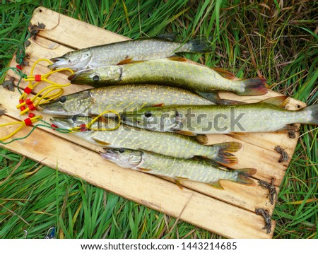 Several river pikes caught on spinning #1443214685