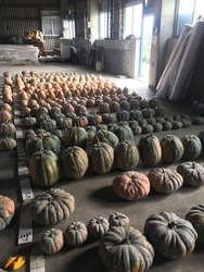 Several rows of pumpkins waiting for selection