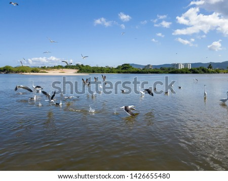 Several sea birds fly around the fish of the lagoon, day of summer sun, in Niterói, Rio de Janeiro, Brazil