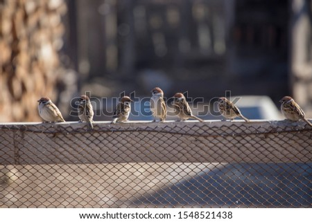 several sparrows sat on the fence, in the middle of the main Sparrow stretched his neck, chest forward #1548521438