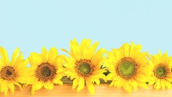 Several sunflowers in a row. Light Blue background. Copy space banner.