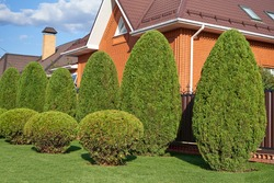 Several thujas grow in a row and are trimmed in the shape of an ellipse, topiary of conifers
