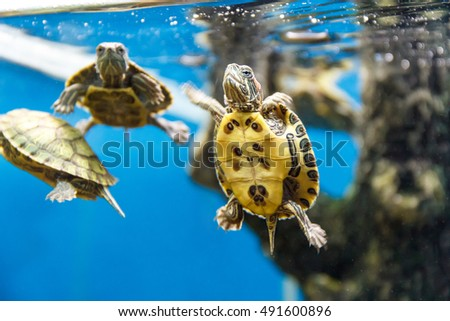 Stock Photo Several turtles swimming in the aquarium tank