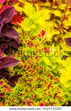 Several varieties of coleus (binomial name: Plectranthus scutellarioides), with digital painting effect, in a summer garden