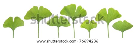 Several young ginkgo leaves on white background