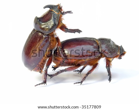 Sex in the world of bugs and insect. Isolated on a white background.