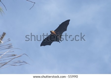 "Seychelles fruit bat or ""flying foxes"" (species: Pteropus seychellensis seychellensis) in flight on Fregate Island, Seychelles. It is quite normal for this species to fly during the day."
