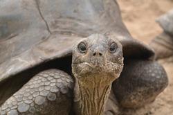 seychelles giant turtoise